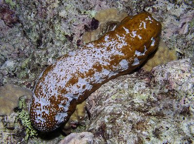 holothuriids - Actinopyga spp.