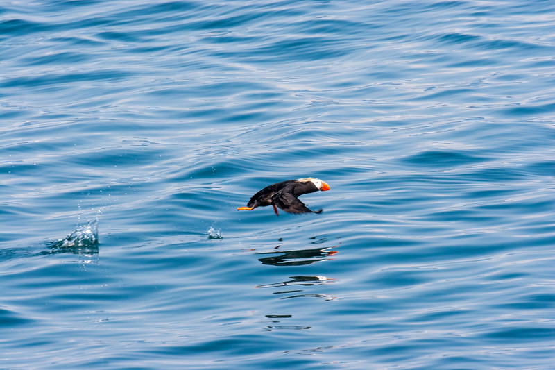 Tuffed Puffin flying