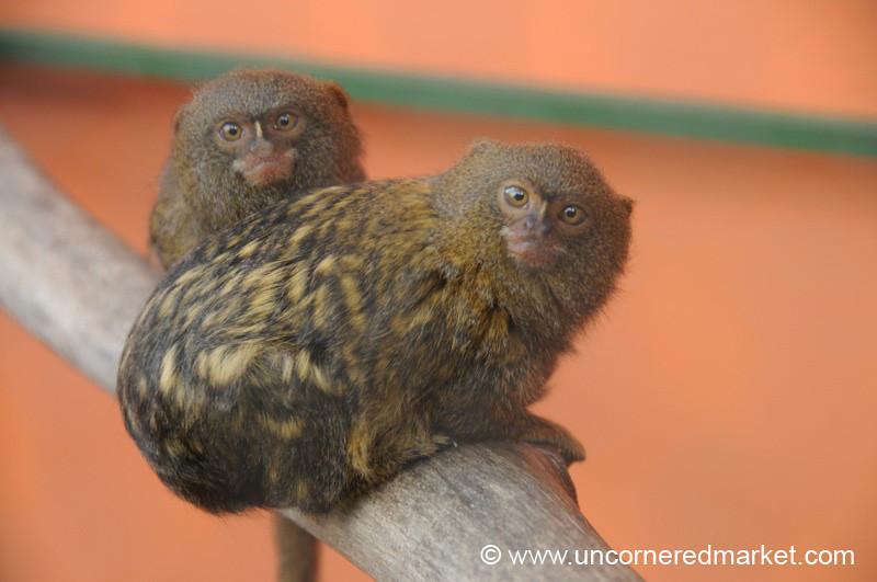 Pigmy Marmosets - Guayaquil, Ecuador
