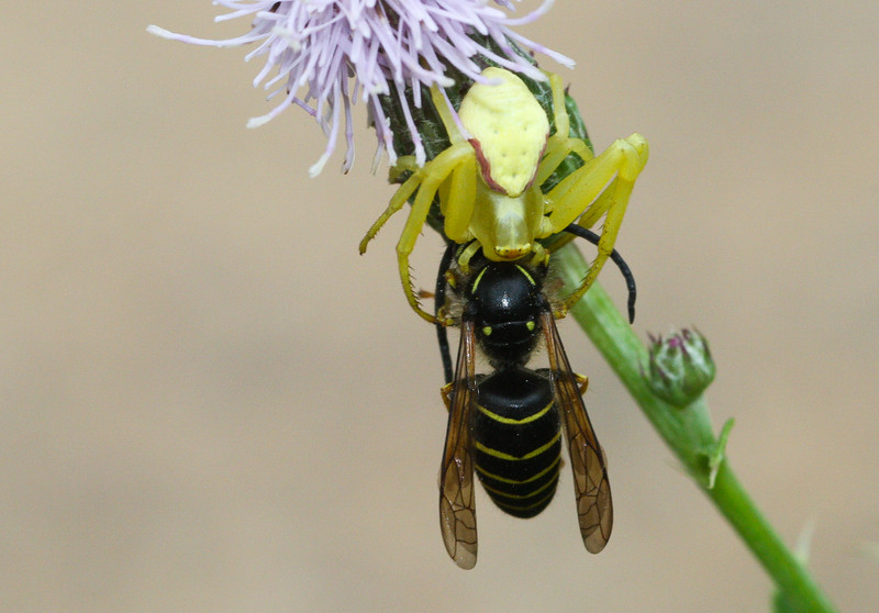 Goldenrod Crab Spider (Misumena vatia) catches a  Northern Aerial Yellowjacket (Dolichovespula norvegicoides) in Wisconsin.