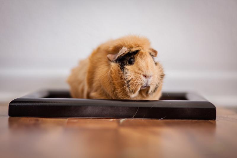 Ginea Pigs-25.jpg