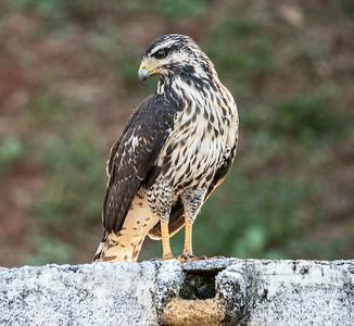 Costa Rica Birds - 2019
