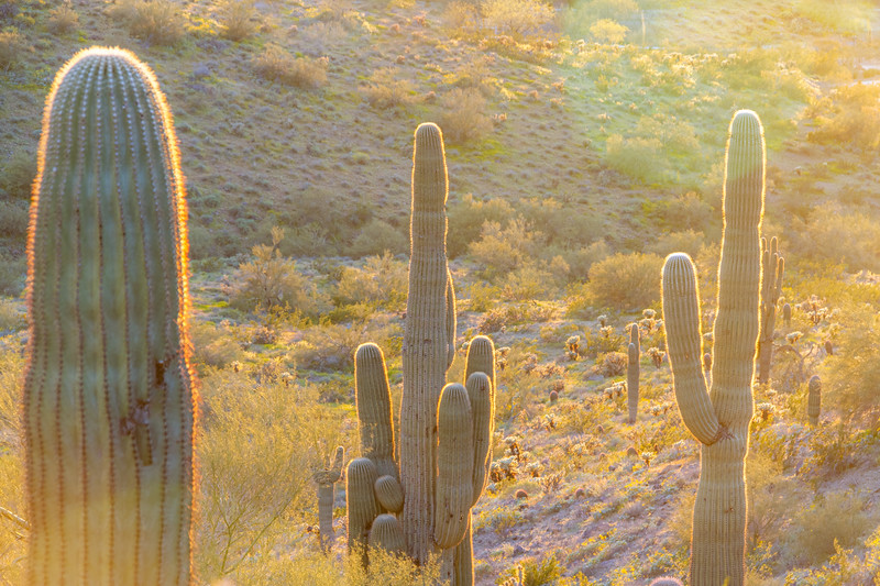Three saguaro cacti backlite be the evening sun in the Sonoran