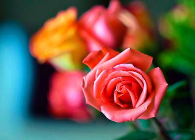 Valentine Roses 2021