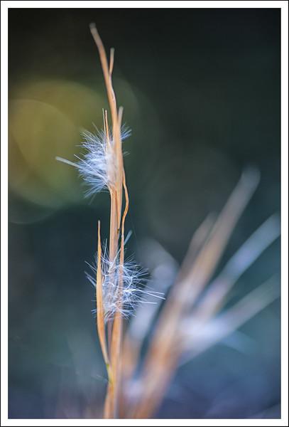 Grass fluffpp.jpg