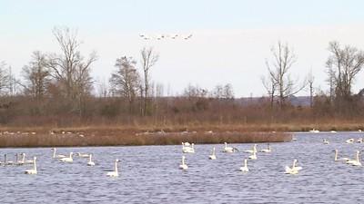 Tundra Swans at Pungo Lake