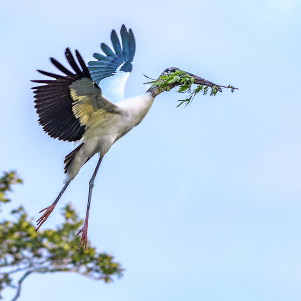 Wood Stork - heading home to the nest