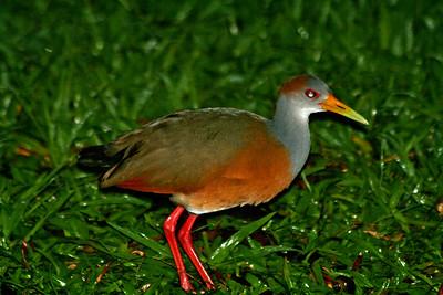 Tikal Birds