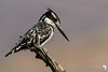 Pied Kingfisher fishing