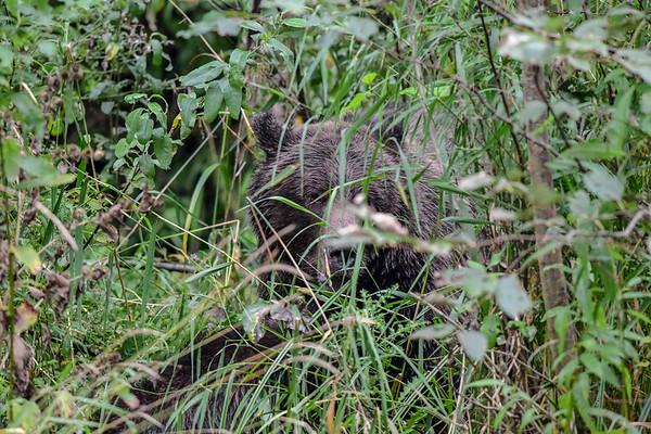 9-23-18 **Grizzly Bear Mom  & Cub