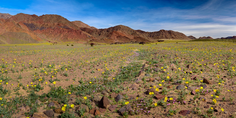 Death-Valley-Wildflowers-2016-El-Nino-Superbloom-Panorama.jpg