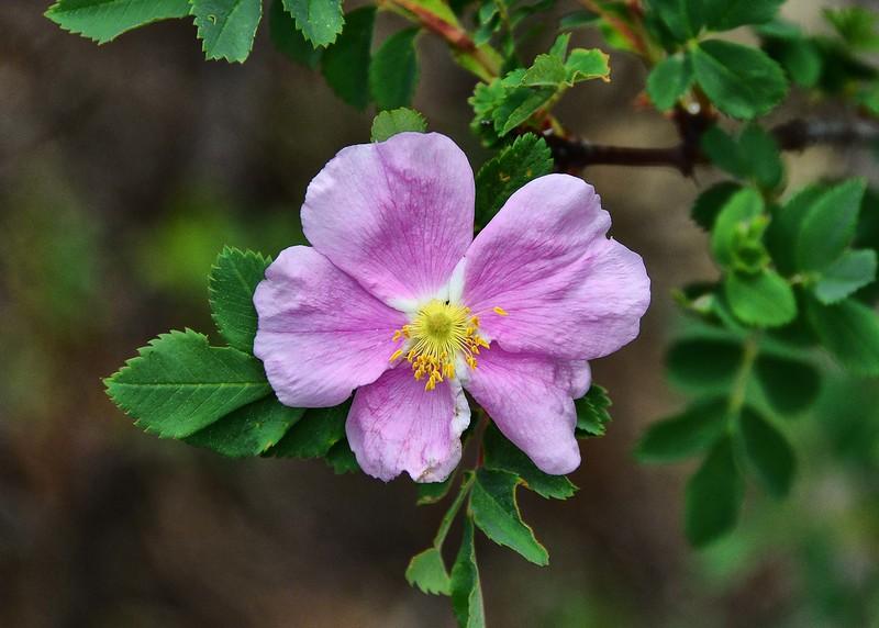 NEA_2176-7x5-Wild Rose.jpg
