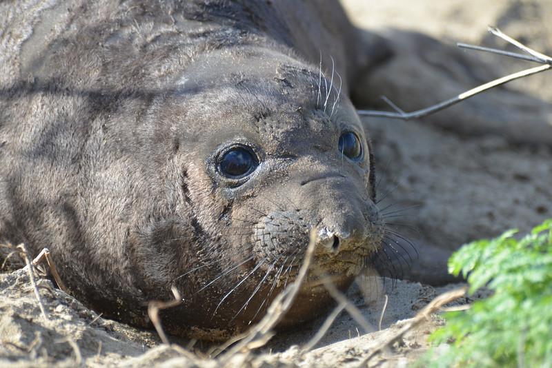 ano-nuevo-elephant-seals-2013 30.jpg