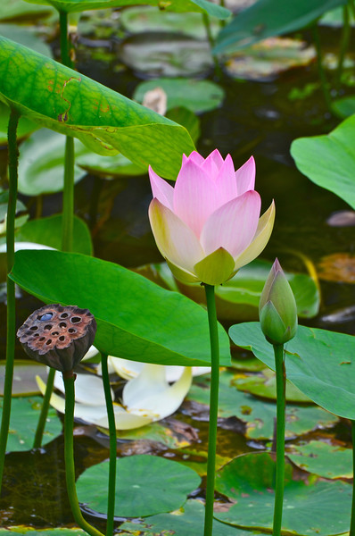 Lotus Waterlily