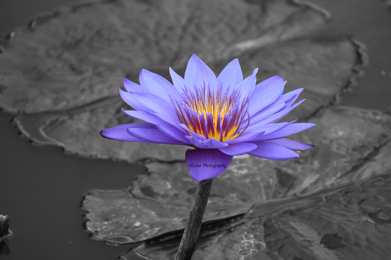 Purple Water Flower.jpg