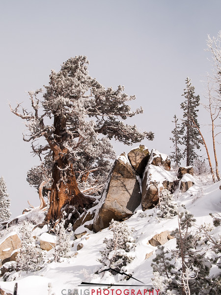 The Tree at Carson Pass CA 1
