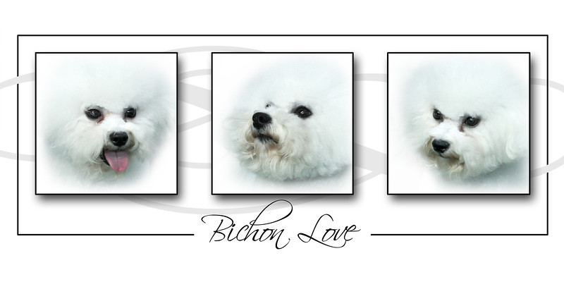 BICHONS FOR SMALLPAWS CHARITY