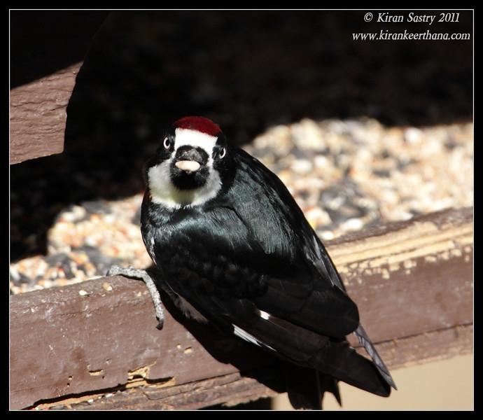 Acorn Woodpecker at Santa Rita Lodge feeders, Madera Canyon, Arizona, November 2011