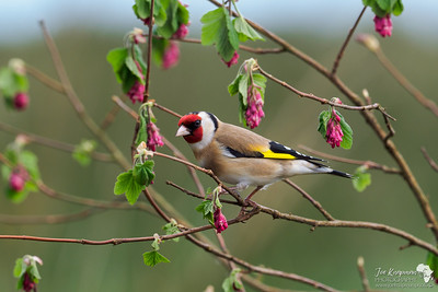 Goldfinch in Ribes - Flowering Currant.