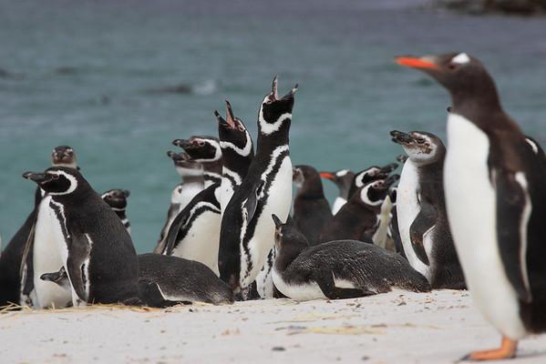 Antarctic-Magellanic Penguins
