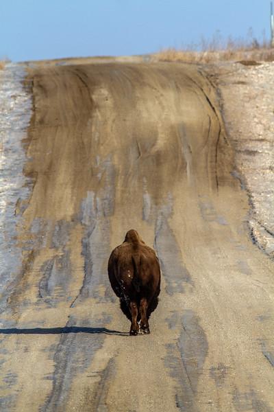 Bison Neal Smith National Wildlife Refuge NWR Prairie City IA  IMG_2330.jpg