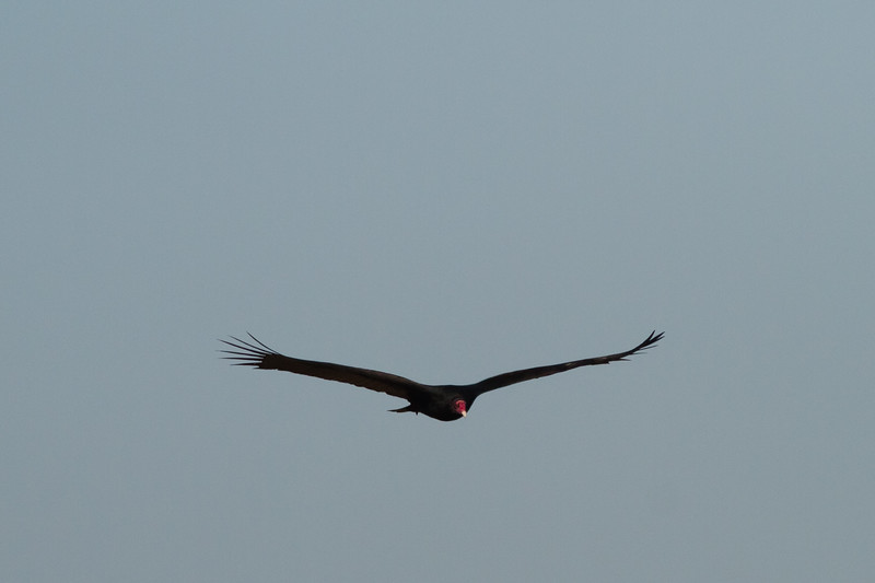 Turkey Vulture - Shoreline Park, Mt. View, CA, USA