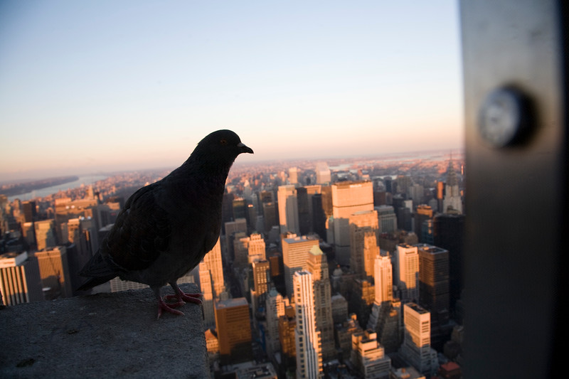 Dove landed on the top of the Empire State Building, NYC, USA