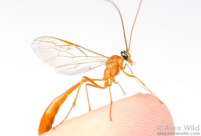 Enicospilus sp.