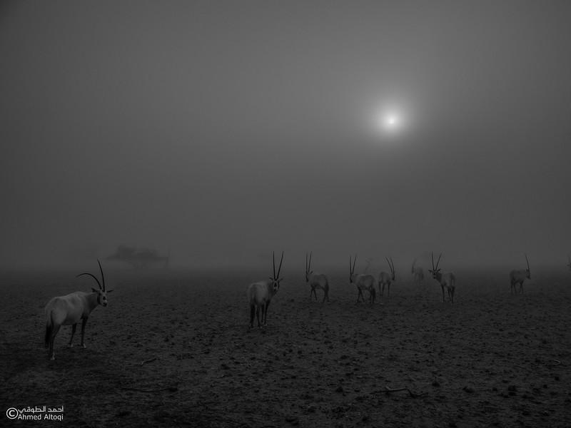Arabian Oryx (32)- B&W.jpg