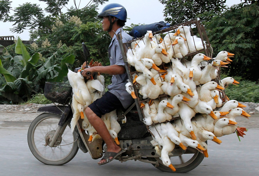 . A man transports ducks on a motorcycle to a market in Nam Ha province, outside Hanoi May 31, 2012. REUTERS/Kham