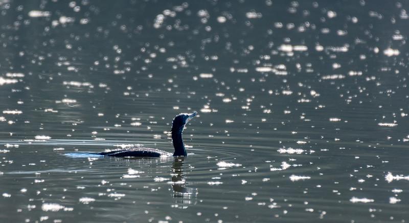Cormorant - Phalacrocoracidae-18.jpg