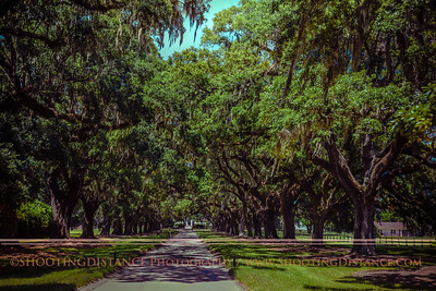 300-year-old Live Oak trees line the drive to Boone Hall Plantation, Charleston, SC