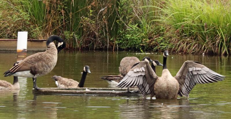 Goose extending 2