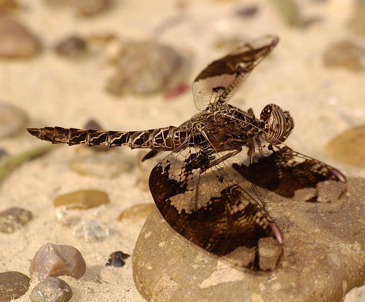 Pseudoleon superbus (Filigree Skimmer), TX - male