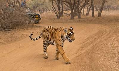 Tiger and tourists on a forest track