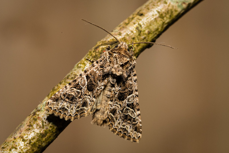 Cabbage Moth ?