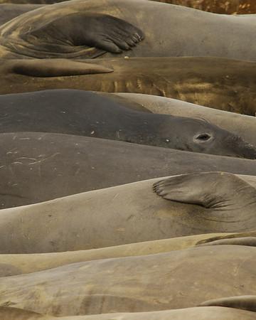 San Simeon Northern Elephant Seals