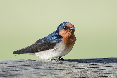 Swallows, Martins and Needletails