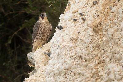 Peregrine Falcon Juvenile's