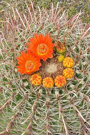 Cactus-Fishhook - blossom - Gage, NM