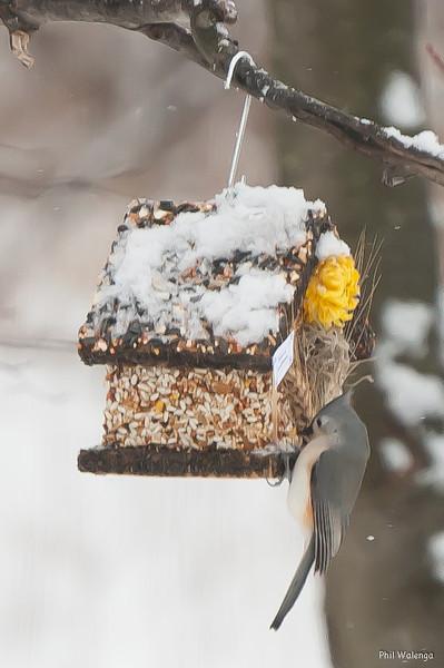 20130117 Pilieated Woodpeckers-6926.jpg