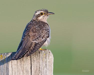 Cuckoos, Coucals & Anis (Cuculidae)