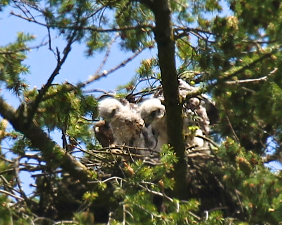 """Another..""""I wish these were not blurry"""" shot.  I lvoe this of the 2 chicks.  Mom had just flown off the nest and were watching where she went.  May 29, 2012 Redtailed hawk chicks with their mother on the nest"""