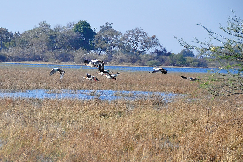 EPV1267 Spur-winged (northern race) Geese in Flight