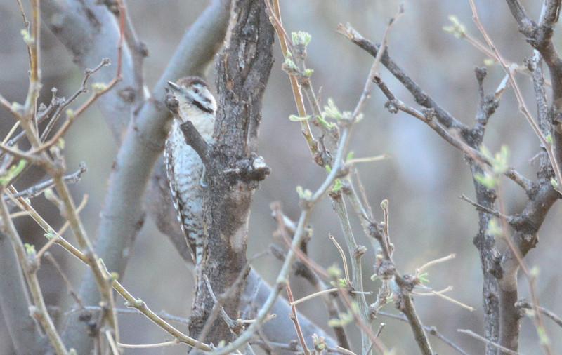 Ladder-backed Woodpecker - 4/18/2014 - San Pedro Riparian Conservation Area, Sierra Vista, Az
