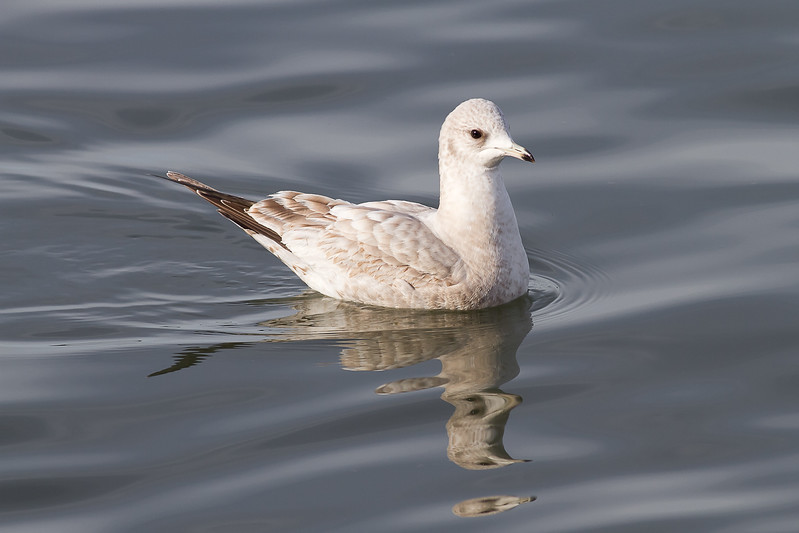 """Mew Gull - Juvenile - Note the """"new"""" looking feathers"""