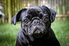 This adorable pug was part a photo shoot at the client's home. Ranson Photography is a photography company located in Richmond, Virginia.  Robert Ranson, our photographer, is an excellent pet photographer.  Not only can Ranson Photography capture your house pet, but we can also do equine photography.