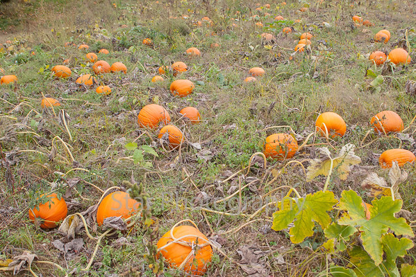 Pumpkin Patch On Rip Shin 10-15-13
