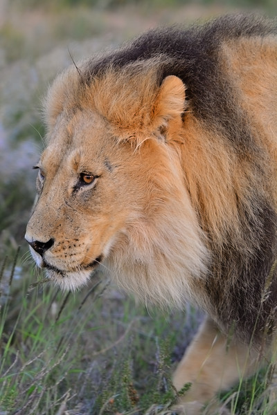 Male lion 3 staking-1.JPG