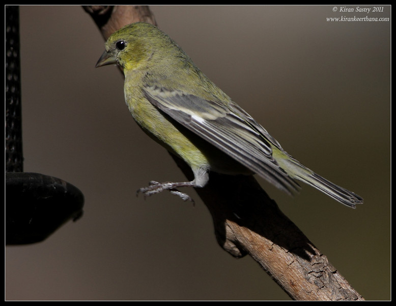 Female Lesser Goldfinch at the Madera Kubo feeders, Madera Canyon, Arizona, November 2011
